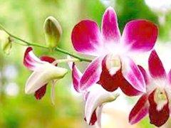 Pinda recebe Mostra de Orquídeas e venda de plantas
